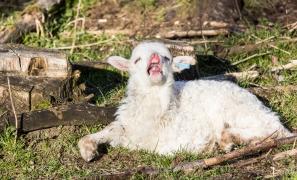 hvitt lam gjesper